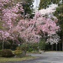 【風景】当館の周辺にはたくさんの桜が花を開きます。