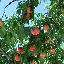 田上の桃の木
