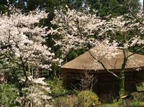 日向見薬師堂の桜(4月中旬から下旬)