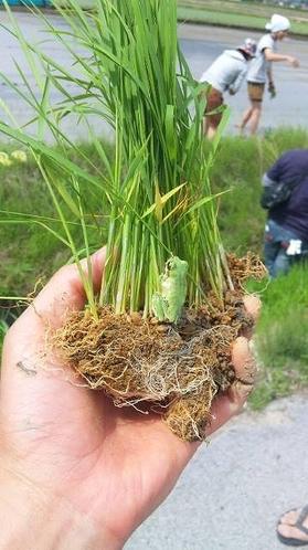 減農薬米の苗
