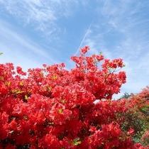 【徳仙丈山】田束山よりも標高が高いため、ツツジの開花時期は少し遅めです、