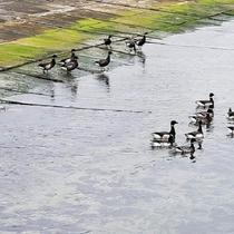 志津川湾で越冬する「コクガン」
