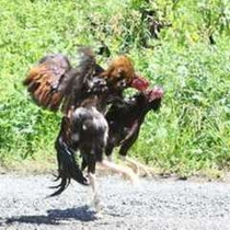 ●烏骨鶏や奥飛騨地鶏、奥飛騨シャモは、主人みずから自家肥育!