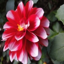 季節のお花*ダリア①*