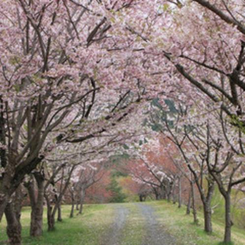 ホテル近くの桜並木