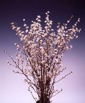 草なぎ剛主演「冬のサクラ」で注目!冬咲くサクラ啓翁桜
