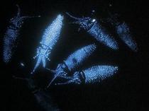 富山湾の神秘『蛍烏賊』
