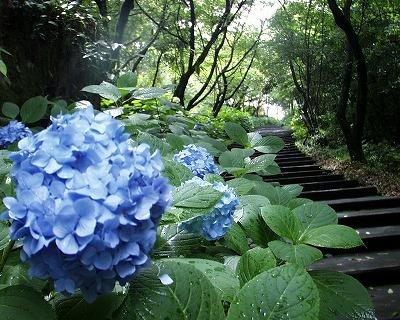 千巌山の紫陽花