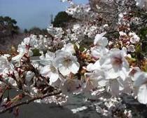 春の千巌山