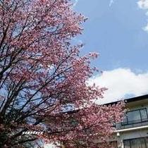 別館前の桜