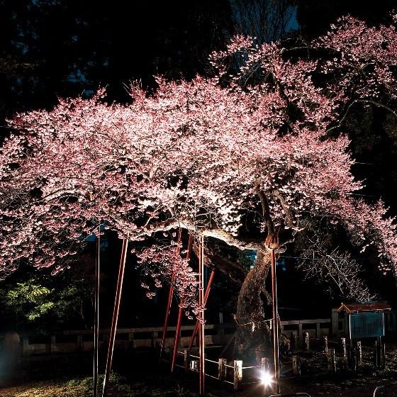■清秀桜・見事な夜桜
