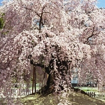 ■麻績の里舞台桜