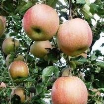 ■南信州のおいしい~りんごをもぎたてでそうぞ!