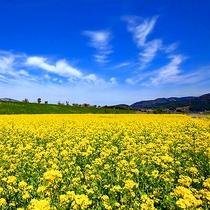 飯山の菜の花