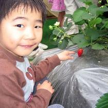 *苺狩りは12月中旬から5月のゴールデンウィークまで楽しめます!