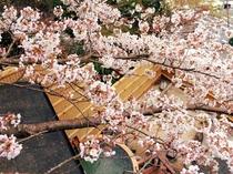 桜満開の露天風呂
