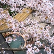 満開の桜露天風呂