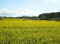 みなみの菜の花畑