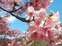 みなみの桜