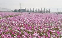 *【キリンビール福岡工場】秋にはコスモスが咲き乱れる人気スポットです。当館より車で約20分