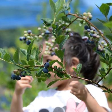 【楽天限定】たわわに実った完熟フレッシュ果実!!《ブルーベリー摘み取り体験プラン》で夏の想い出旅行♪
