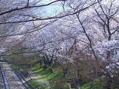 上田城お堀の桜並木