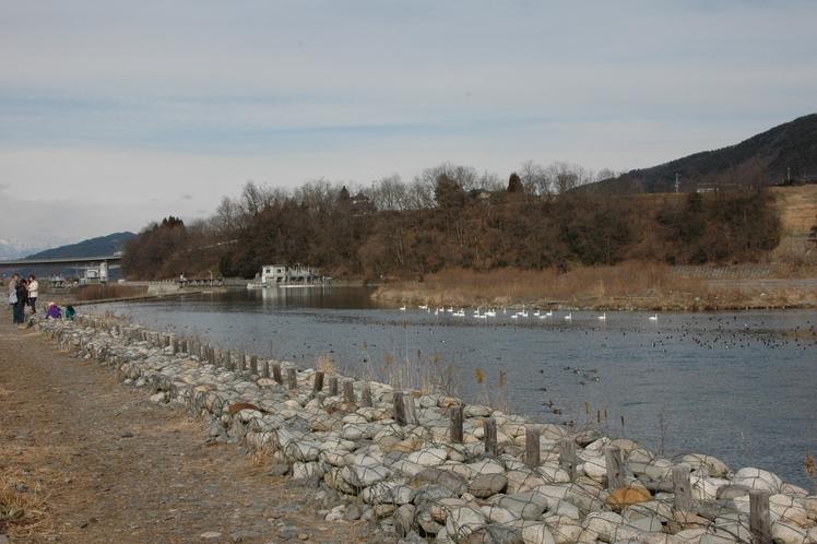 犀川白鳥湖(12月頃~3月頃)