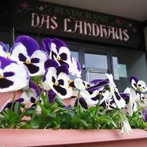 *庭園/パンジー 開花時期は10月~5月