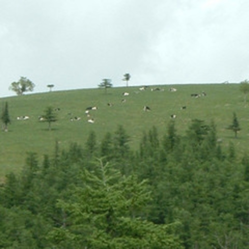 【美ヶ原高原】牛の放牧