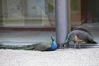 中庭 孔雀