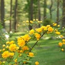 プライベートガーデンのお花(6月頃)ヤエヤマブキ