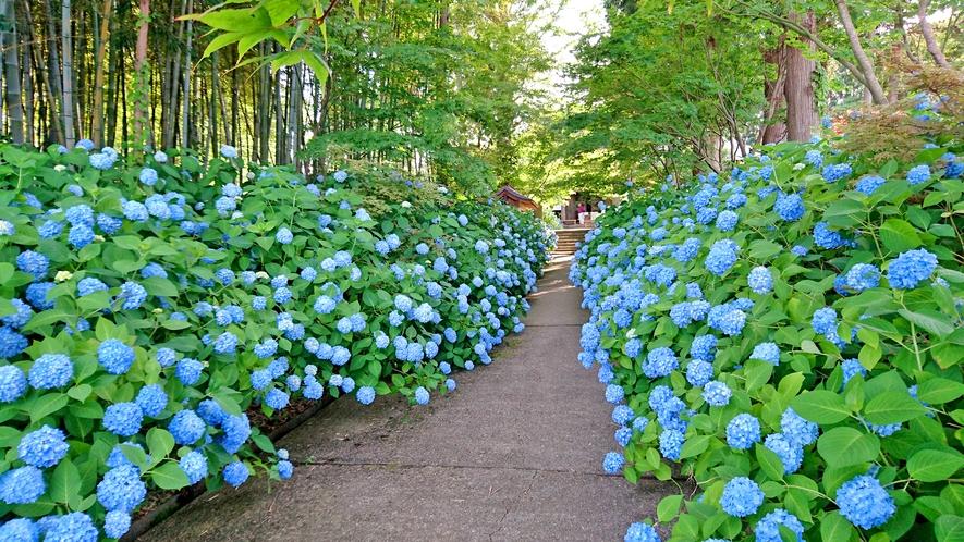 1200株のアジサイが咲く「雲昌寺」