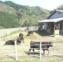 山あいの牛舎