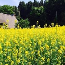 健命時の菜の花