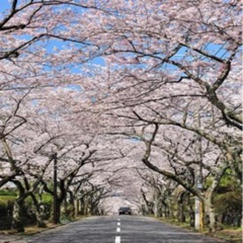 【お花まつり】伊豆高原桜並木(伊東市)桜のトンネルが三キロ