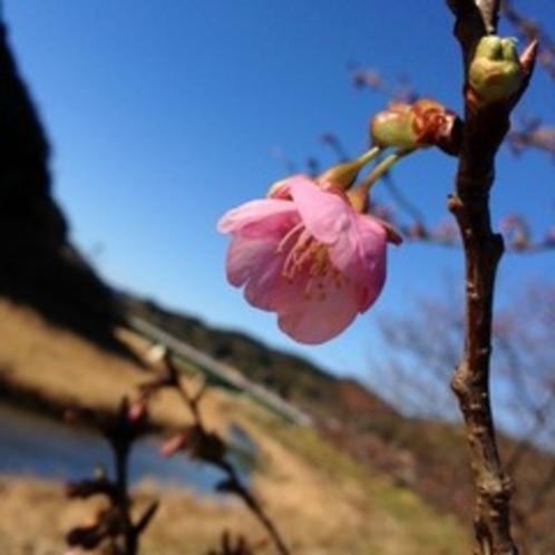 早咲きの河津桜♪2月に咲き始めます!