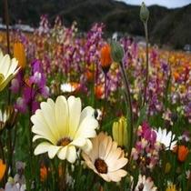 【お花まつり】田んぼを使ったお花畑(松崎町)3月上旬~5月上旬
