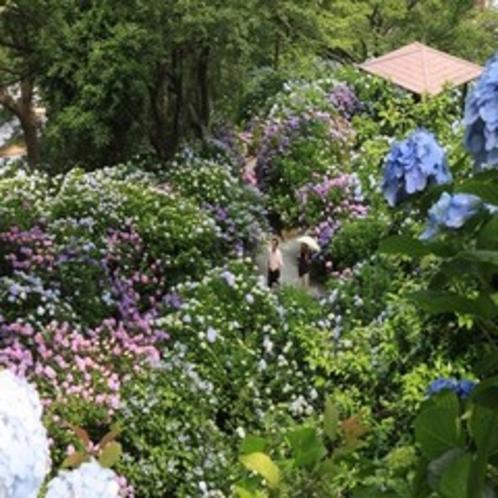 【お花まつり】あじさい祭り(下田市)6/1~30まで。15万株300万輪の紫陽花は圧巻です♪