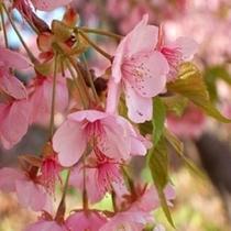 【お花まつり】河津桜まつり(河津町)2/10~3/10