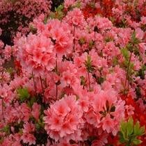 【お花まつり】小室山つつじ祭り(伊東)40種類10万本が赤いじゅうたんのようです♪