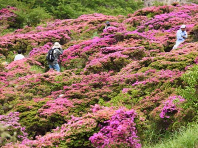 仁田峠 春のミヤマキリシマ