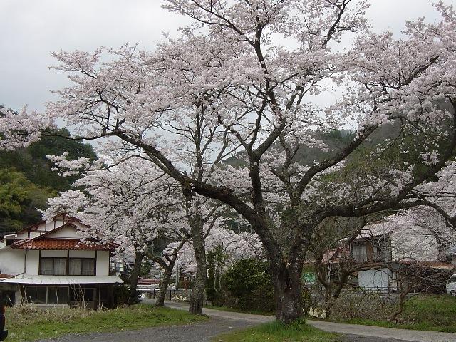 近隣桜(2)