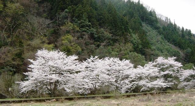 近隣桜(3)