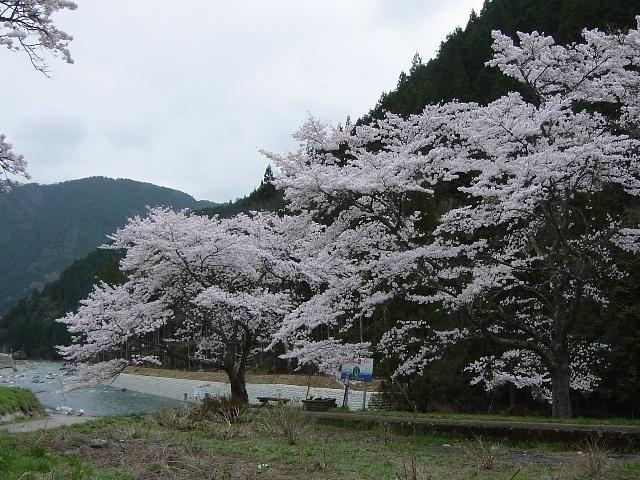 近隣桜(1)