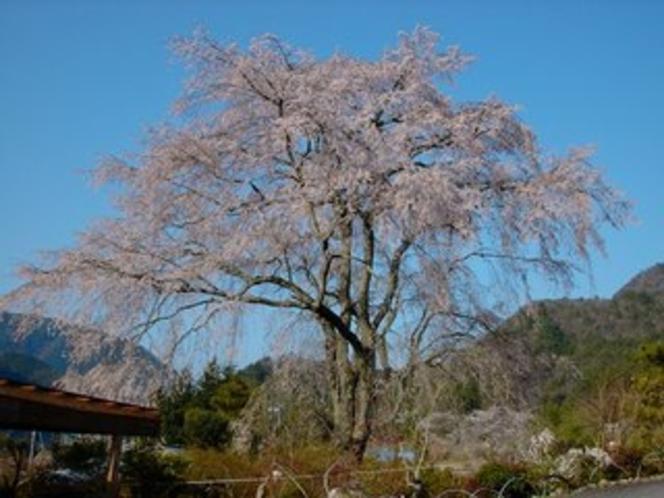湯の山しだれ桜