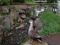 【里山の動物】池には自然の鴨が遊びにくることも♪
