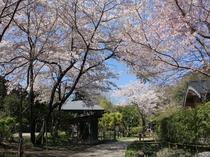 【春の里山】きらの里の敷地内の桜は例年3月下旬頃が見頃です♪