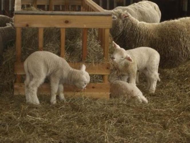 小岩井農場・子羊