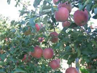 りんごII