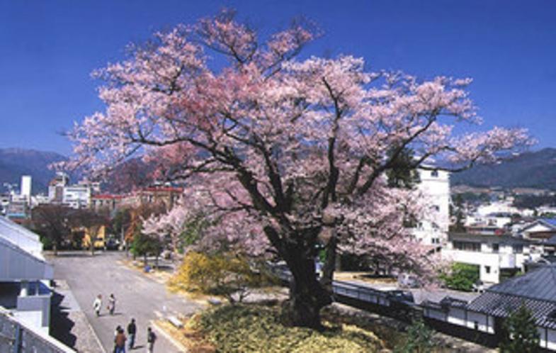 飯田市内の桜の古木
